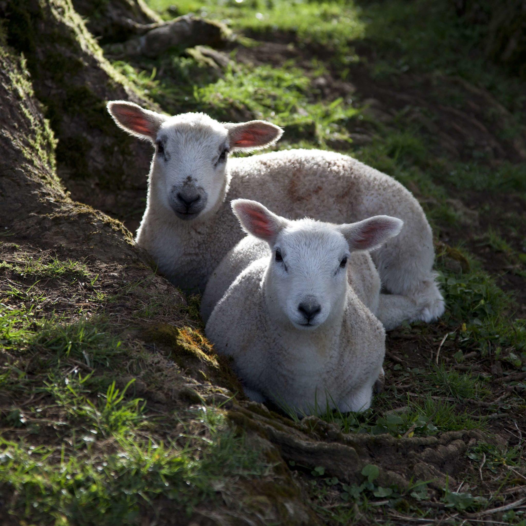 organic wool facts